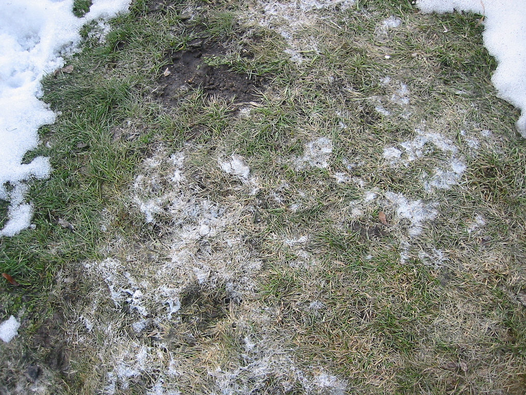 Treat Snow Mold Fort Collins